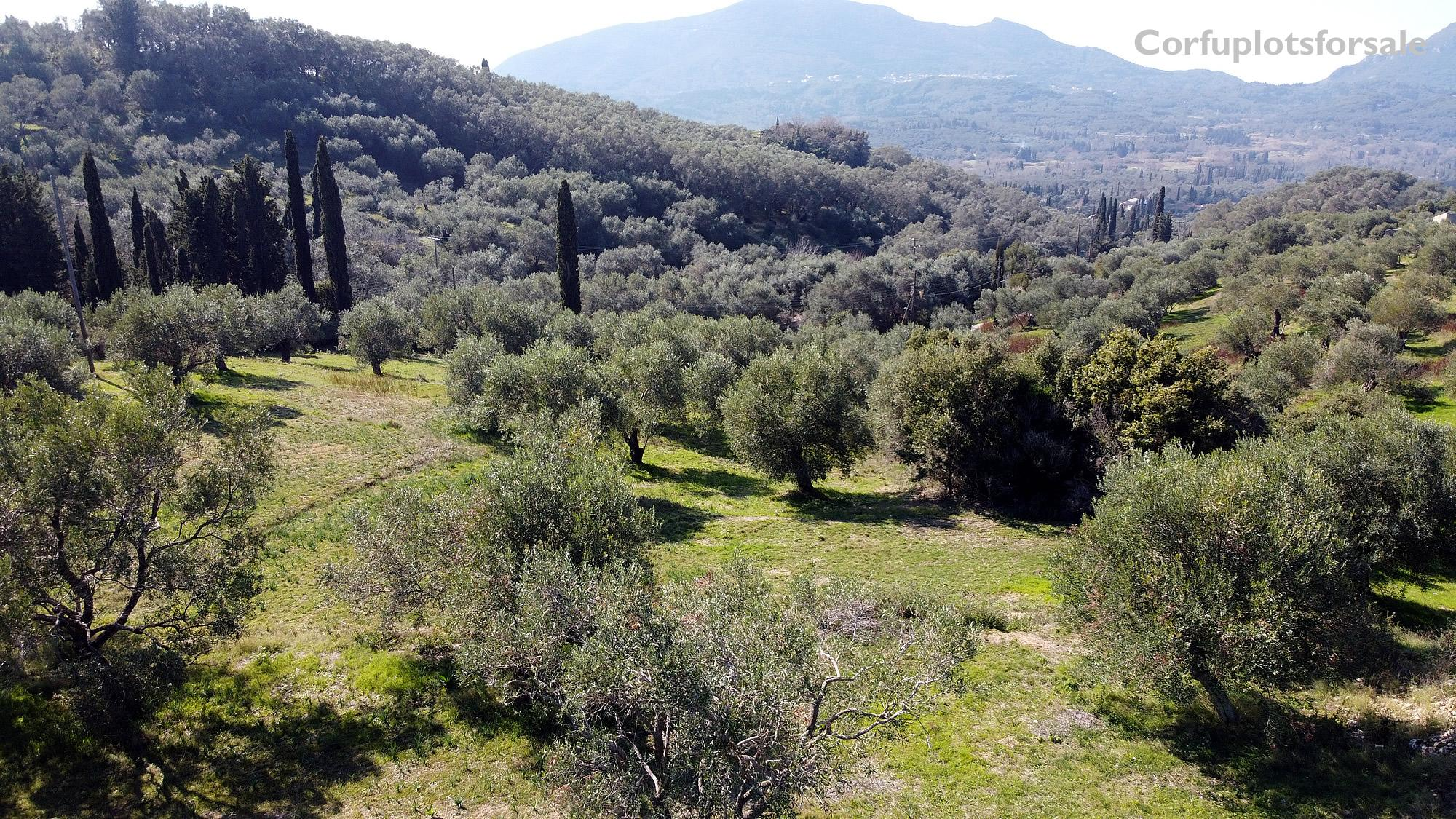 A plot on a hill full of olive trees